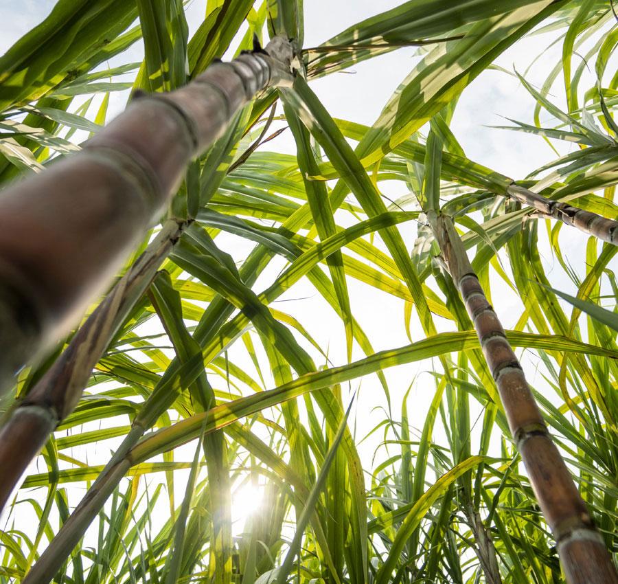 Sugarcane-Product-context